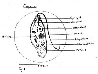 euglena research paper